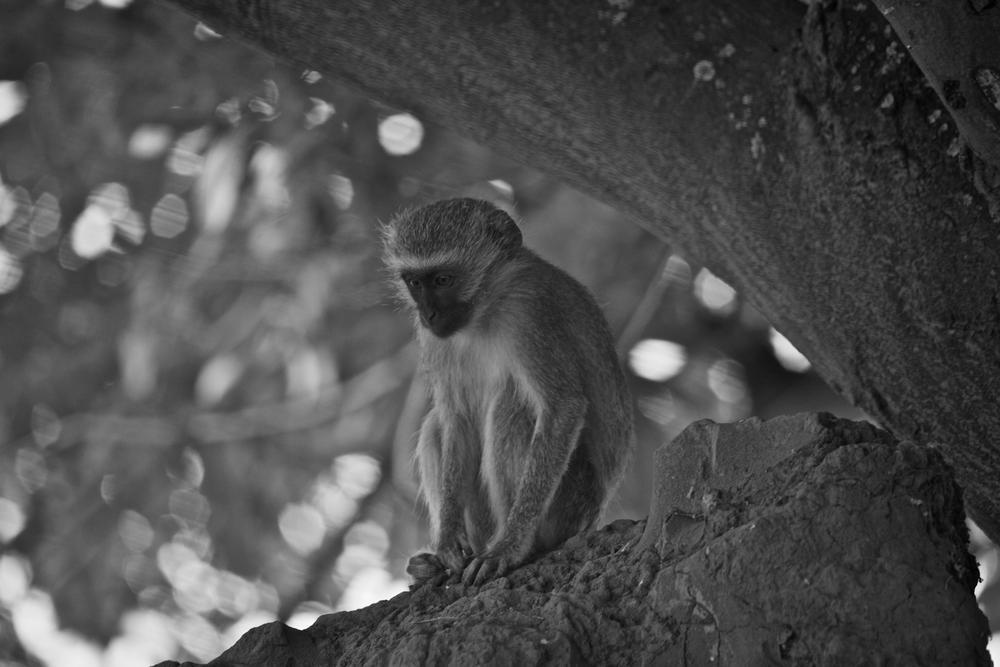 Photo in Animal #monkey #africa #safari #zimbabwe #b&w