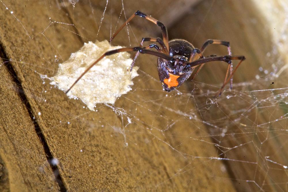 Black Widow Spider by Hugh Mitchell