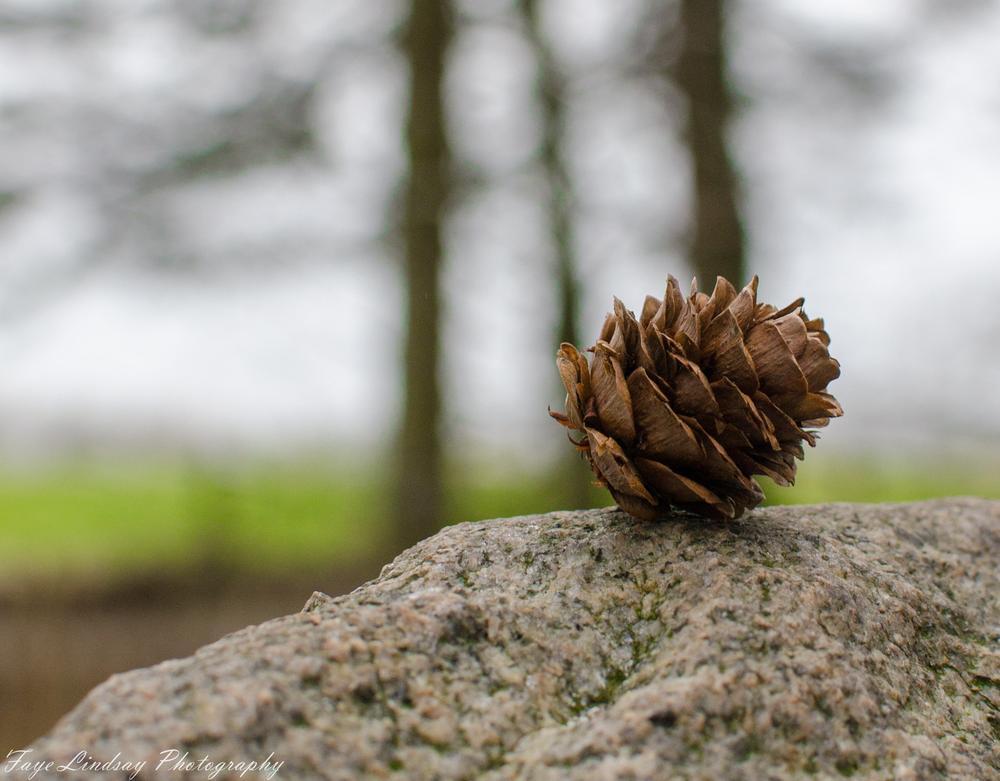 Pineae Nucis by Faye Lindsay