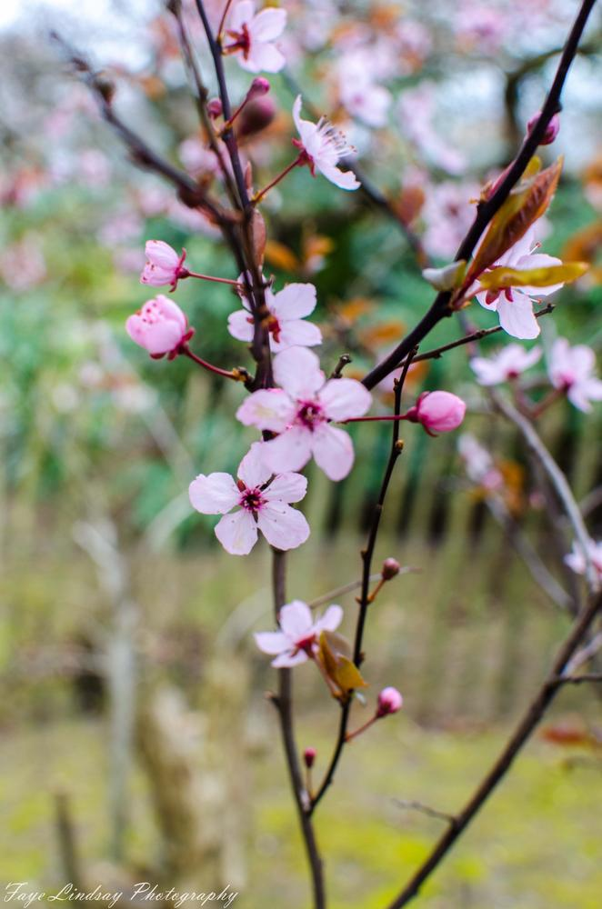 Photo in Nature #cherry #blossom #pink #spring #park #seaton #aberdeen