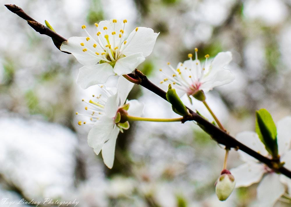 White Apple Blossom by Faye Lindsay