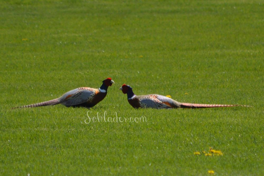 Pheasants in the neighborhood by  Schlader
