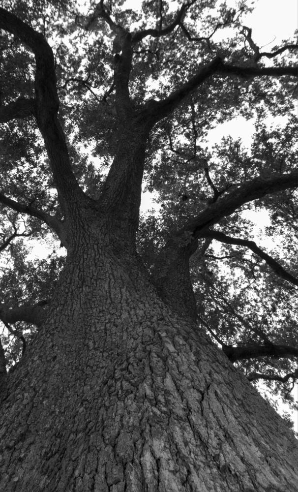 Mighty Oak by Jonathan Logan