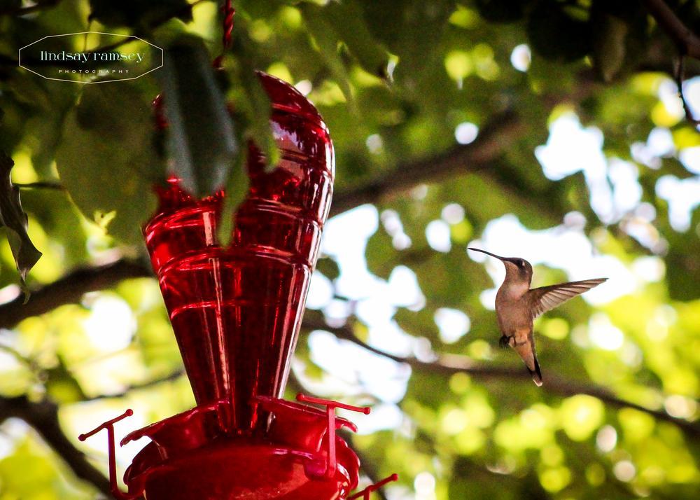 hummingbird by Lindsay Ramsey