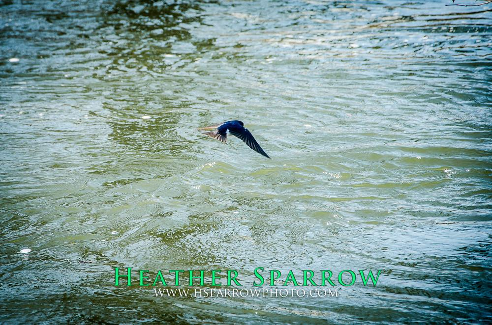 Photo in Animal #bird #flying #water #free