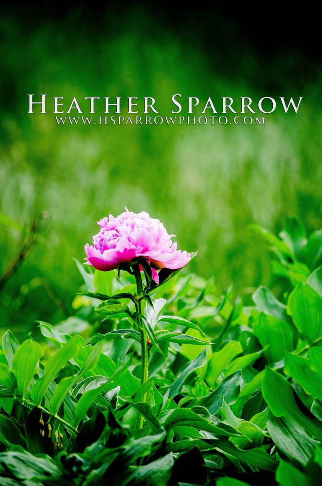 Pink  by Heather Sparrow
