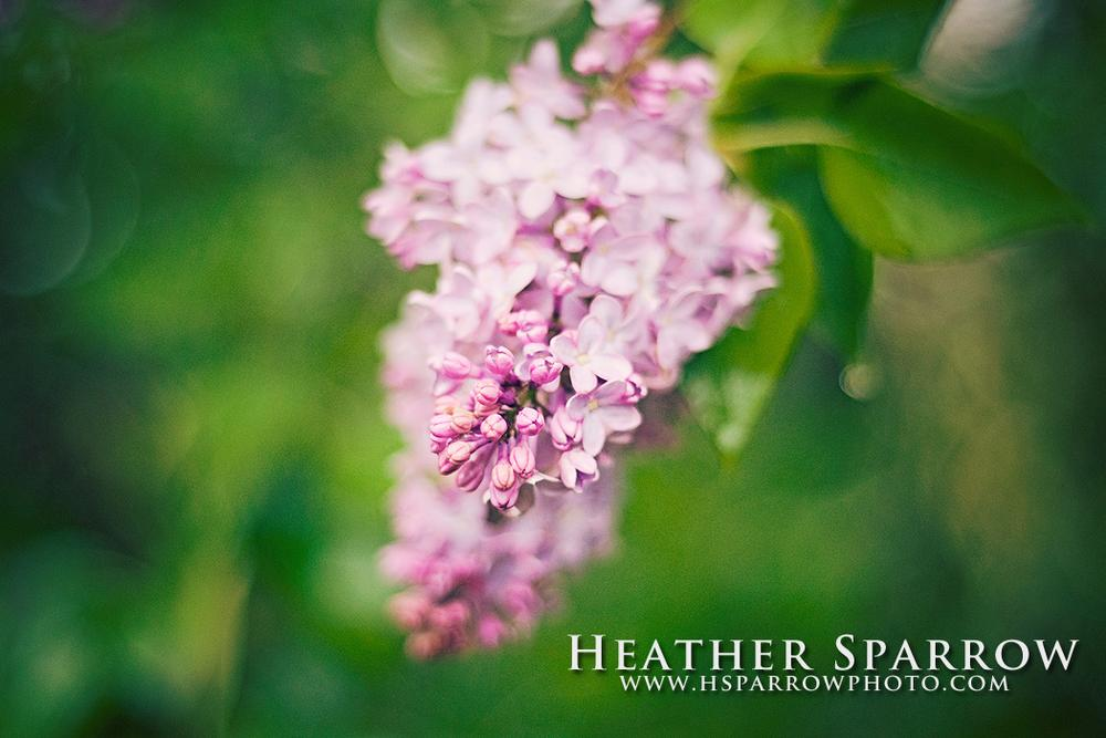 Lilac by Heather Sparrow