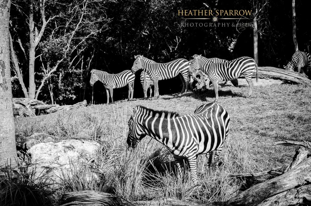 Photo in Animal #zebra #herd #wdw #walt disney world #stripes #black & white