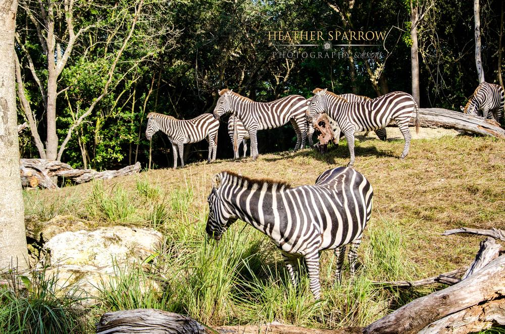 Photo in Animal #zebra #herd #stripes #wdw #walt disney world #green #grass