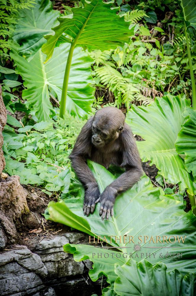 Photo in Animal #gorilla #baby #love #drums #green #wdw #walt disney world