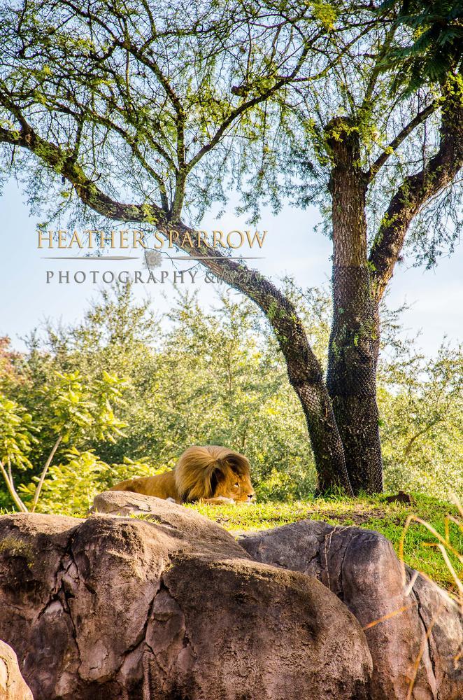 Photo in Animal #lion #trees #rock #king #wdw #walt disney world
