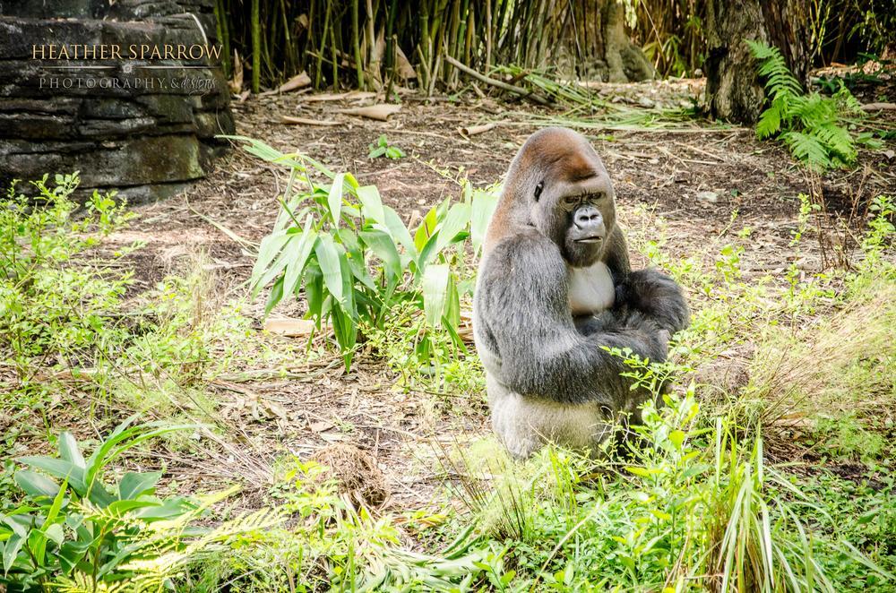 Photo in Animal #gorilla #gray #grass #wdw #walt disney world