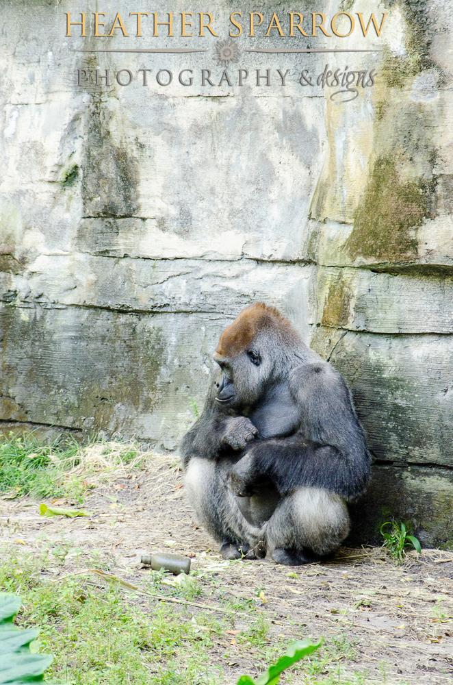 Photo in Animal #gorilla #angry #sad #alone #gray #wdw #walt disney world