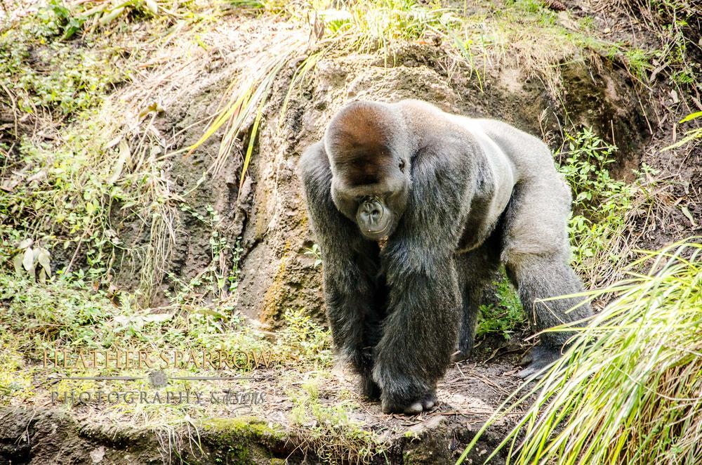 Photo in Animal #gorilla #wdw #gray #walt disney world