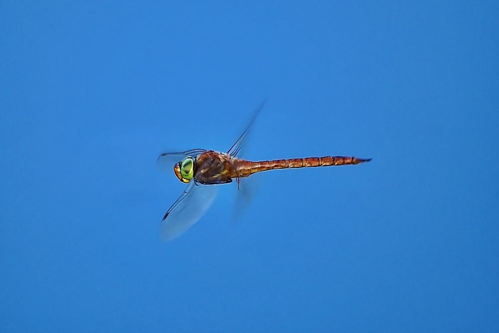 Dragonfly by Zoran Rudec