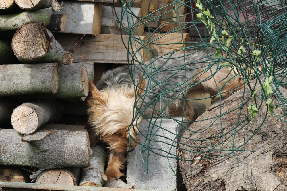 Photo in Animal #dog #yorkshire