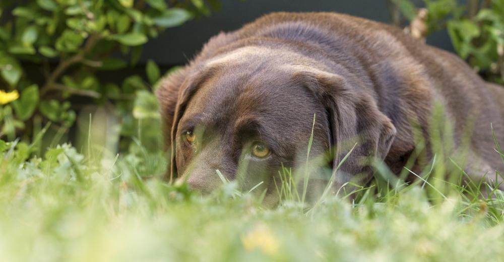 Photo in Animal #dog #lab #chocolate