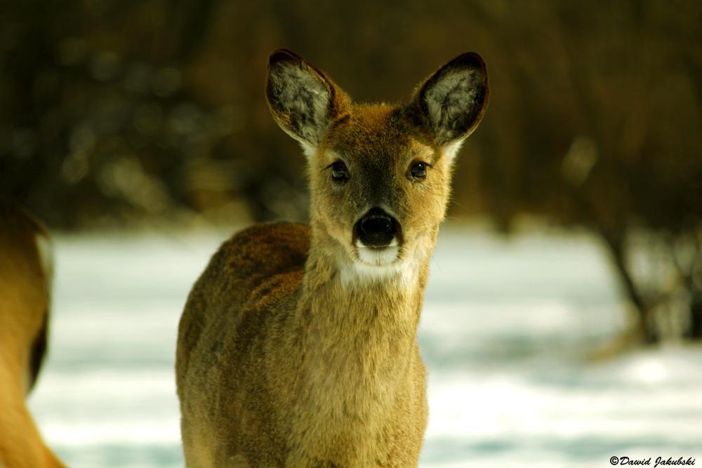 Snow White Deer  by Dawid Jakubski