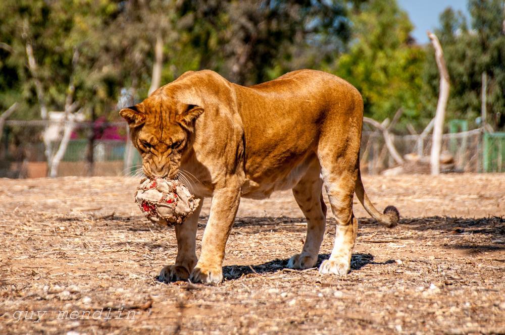 Photo in Fashion #animal zoo #animal #lion #safari