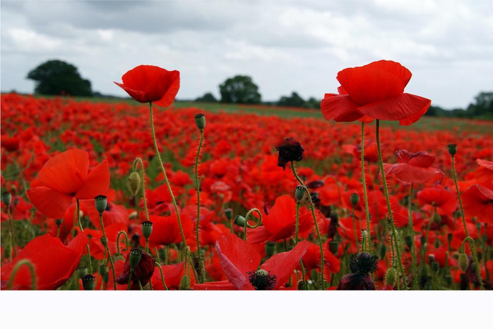 Inside the poppies field by Hugh Burden