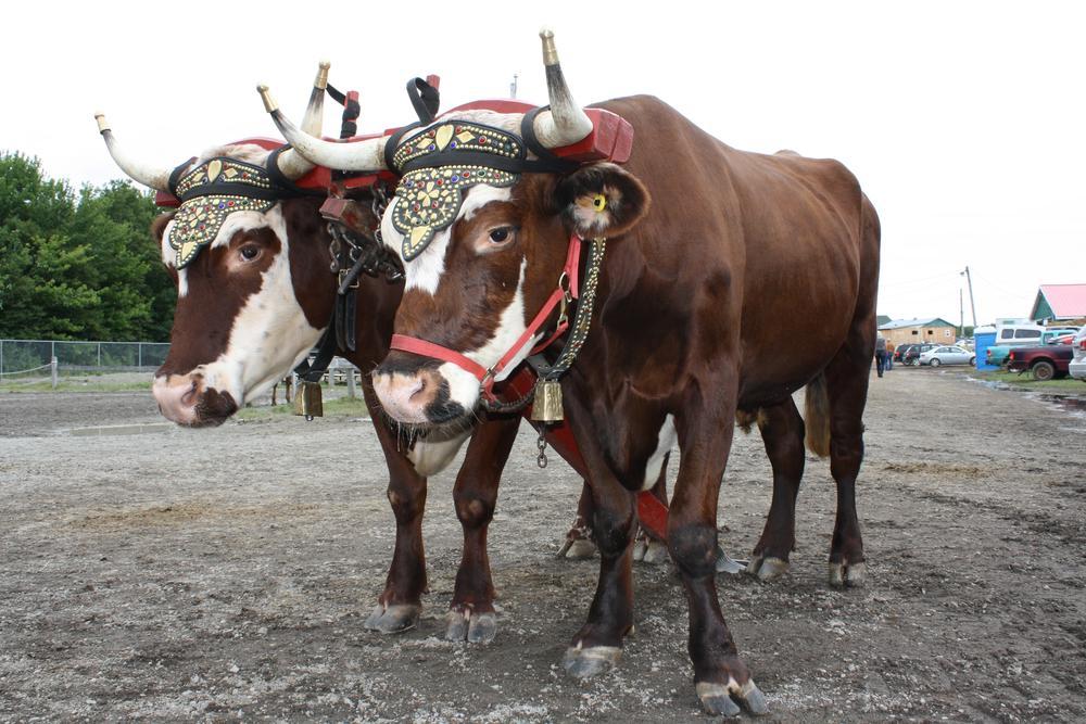 Oxen by Hugh O'Flynn