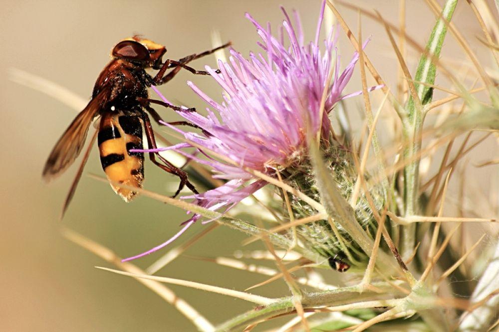 Syrphidae by filiz