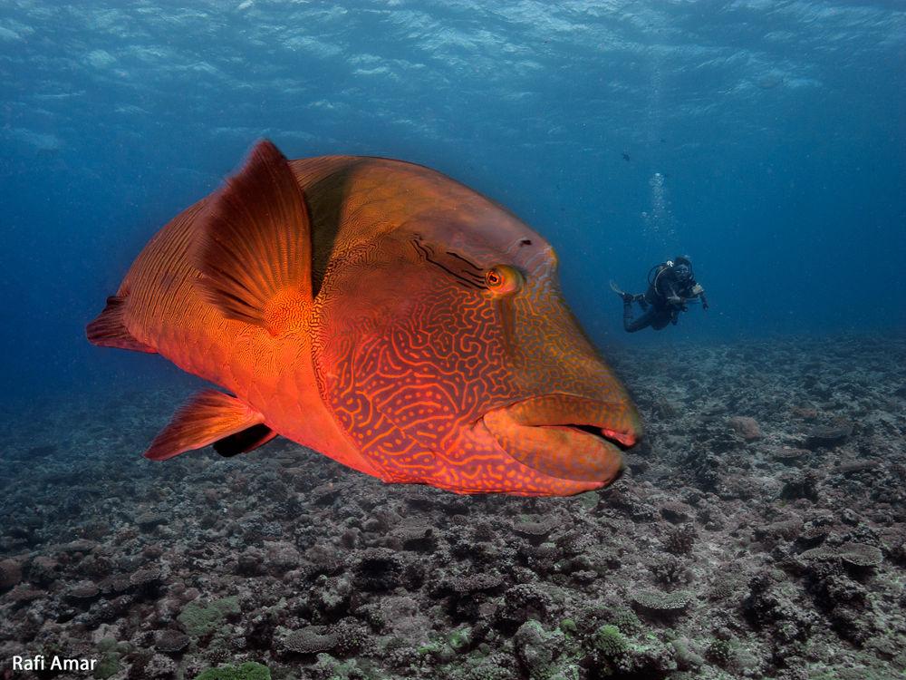 Napoleon fish by rafi amar