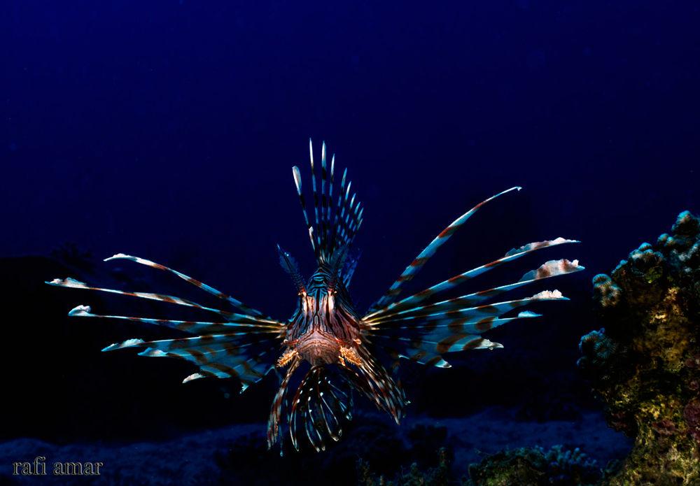 Lionfish by rafi amar