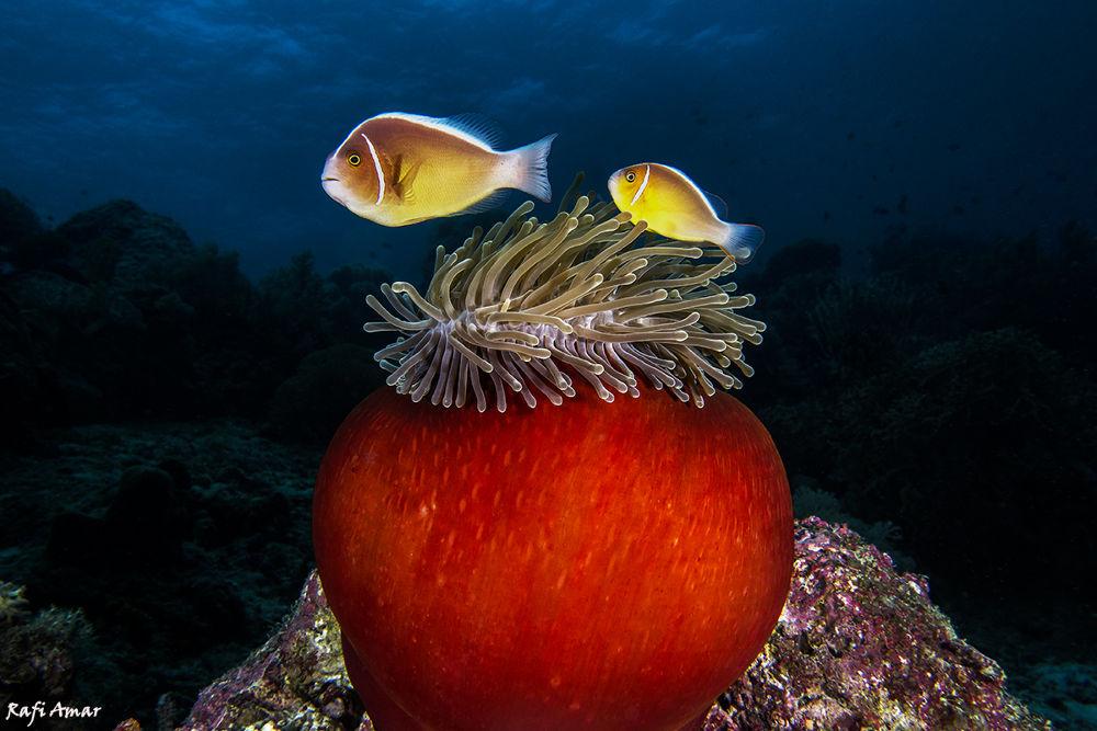 Sea anemone by rafi amar
