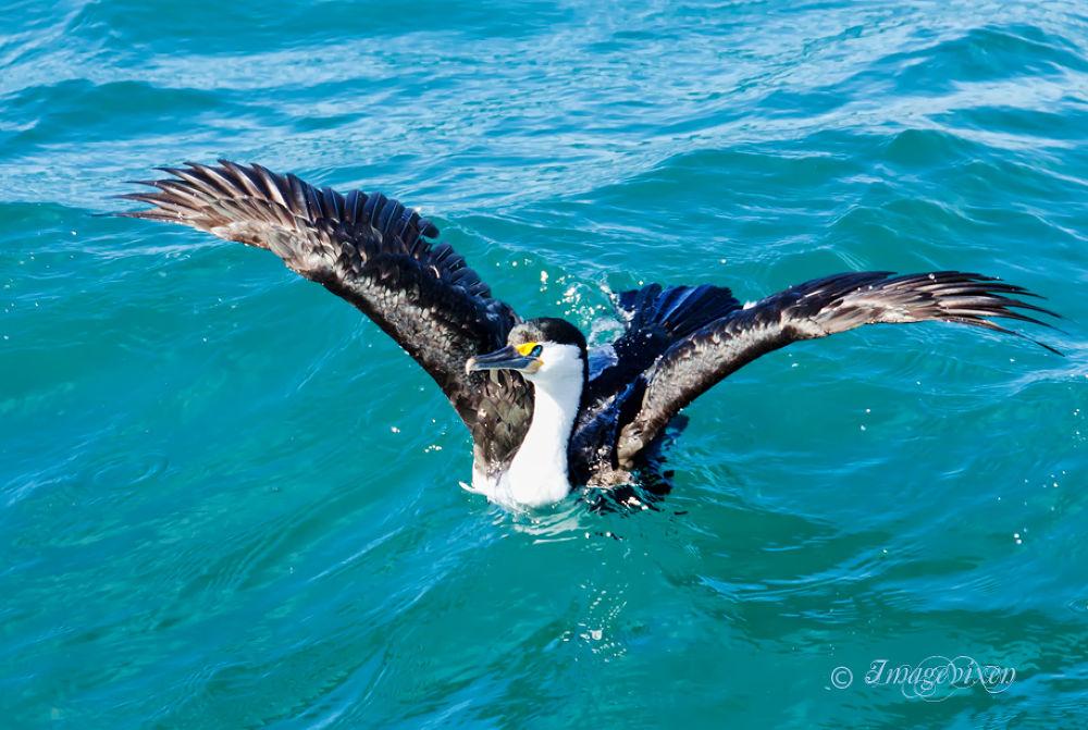 Cormorant by Imagevixen