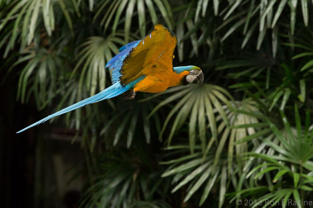 Macaw in Flight by RonERacine