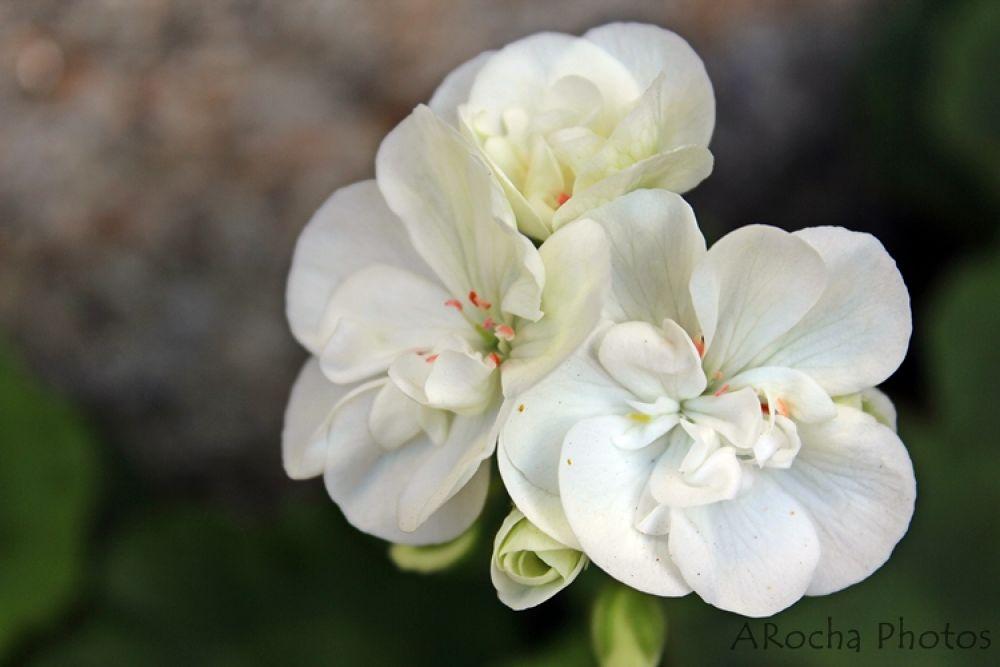 white by AROCHA