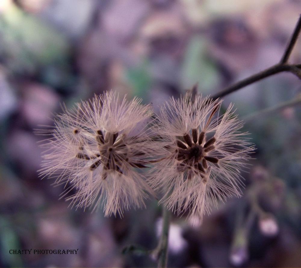 Dandelion by Samia Islam Chaity