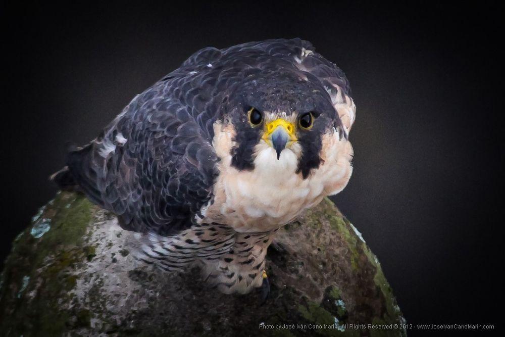 Peregrine Falcon / Halcón Peregrino (Falco peregrinus) by JoseIvanCanoMarin