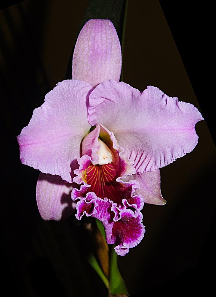 orchid, orquídea by Rui Oliveira Santos