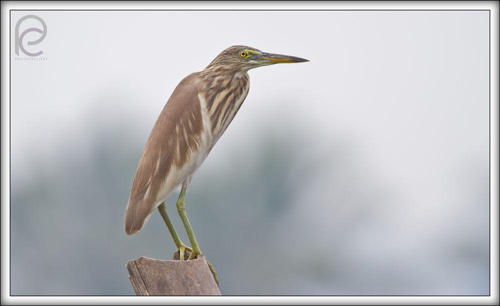 Indian Pond Heron by Praleeshclicks