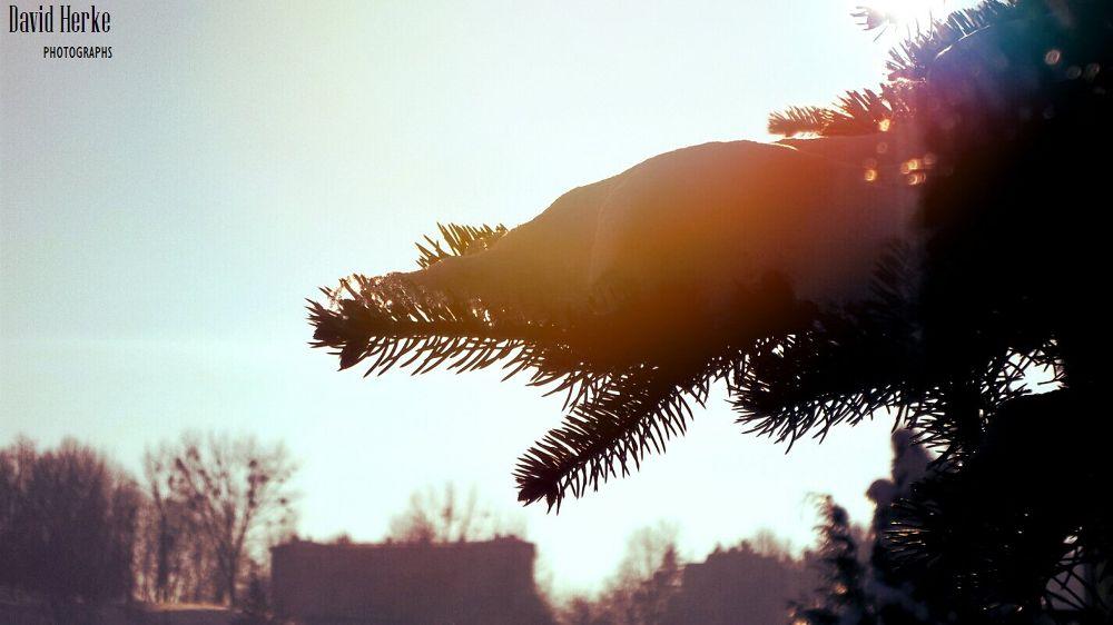 Pine by DavidHerkePhotographs