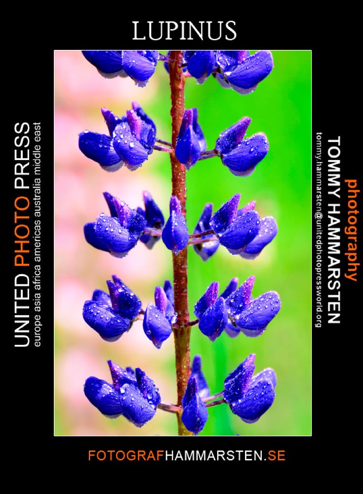 lupinus by tommytechno