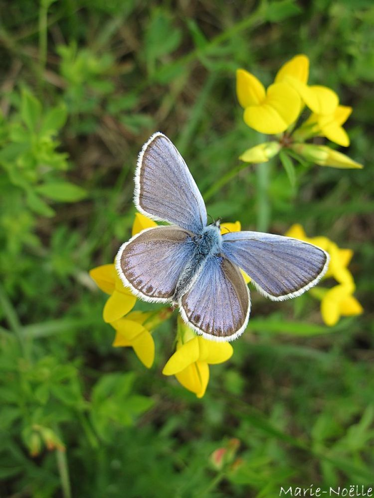 papillonbleu by MarieNoelle