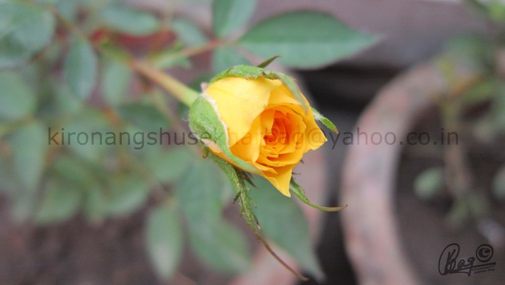 Yello rose by Kironangshu Sekhar Bag