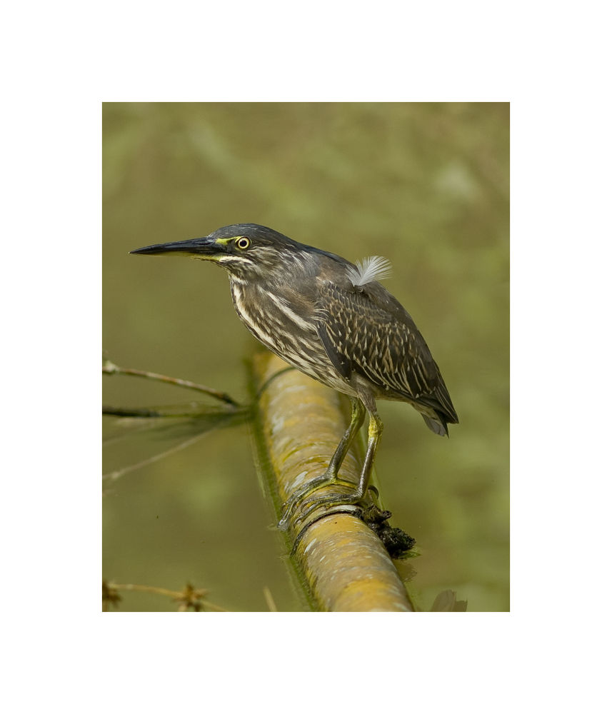 little heron or striated heron by mohamadikhwanismail
