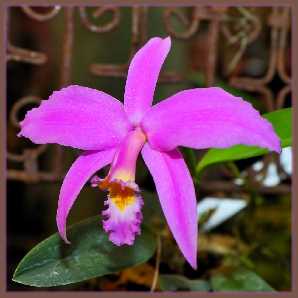 Orchidées..Cattleya intermedia. by photosdan