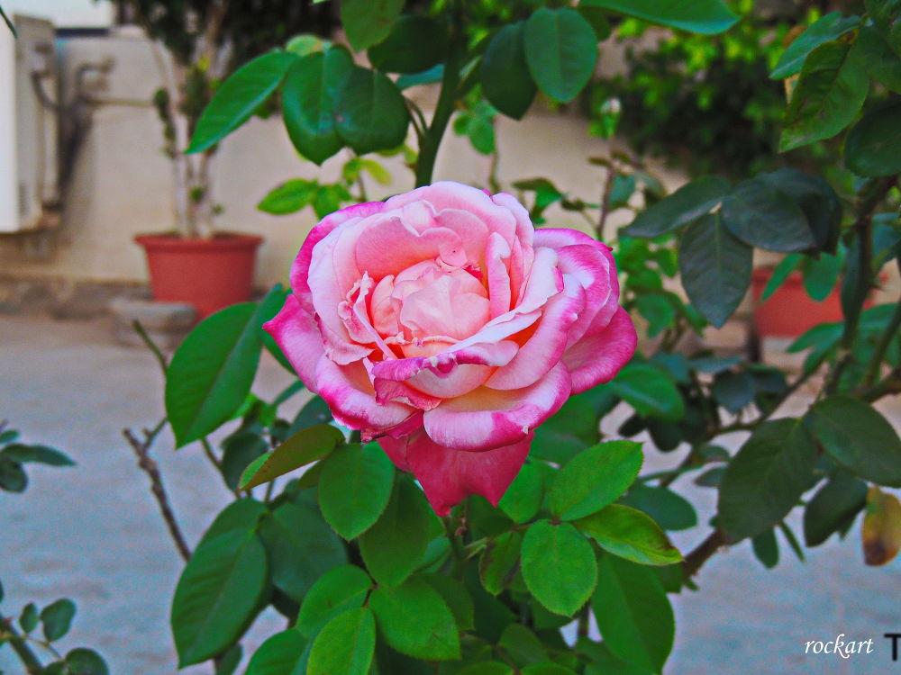 Rose-6 by rockart