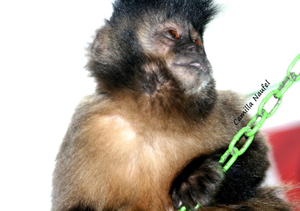Macaco Prego - Águas da Prata - SP by camillanaufel