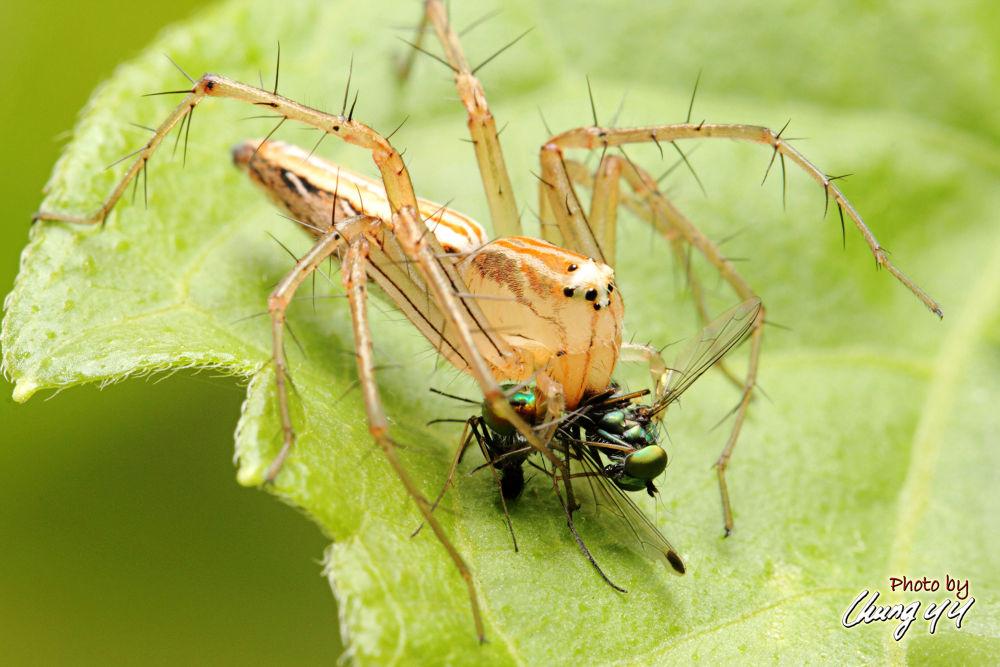 Lynx Spider [Oxyopidae] Oxyopes Macilentus 细纹猫蛛 by cyy4993