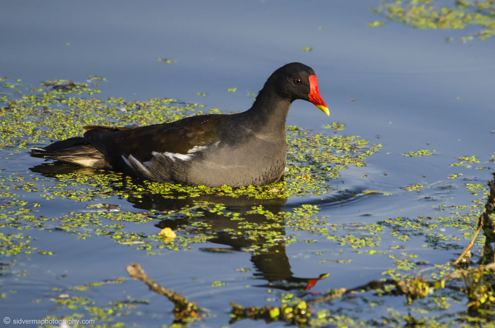 Common Coot by vermasid