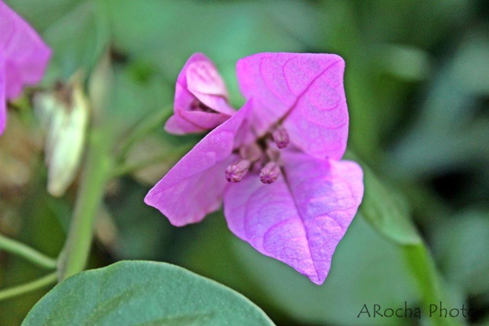 Beauty Pink by AROCHA