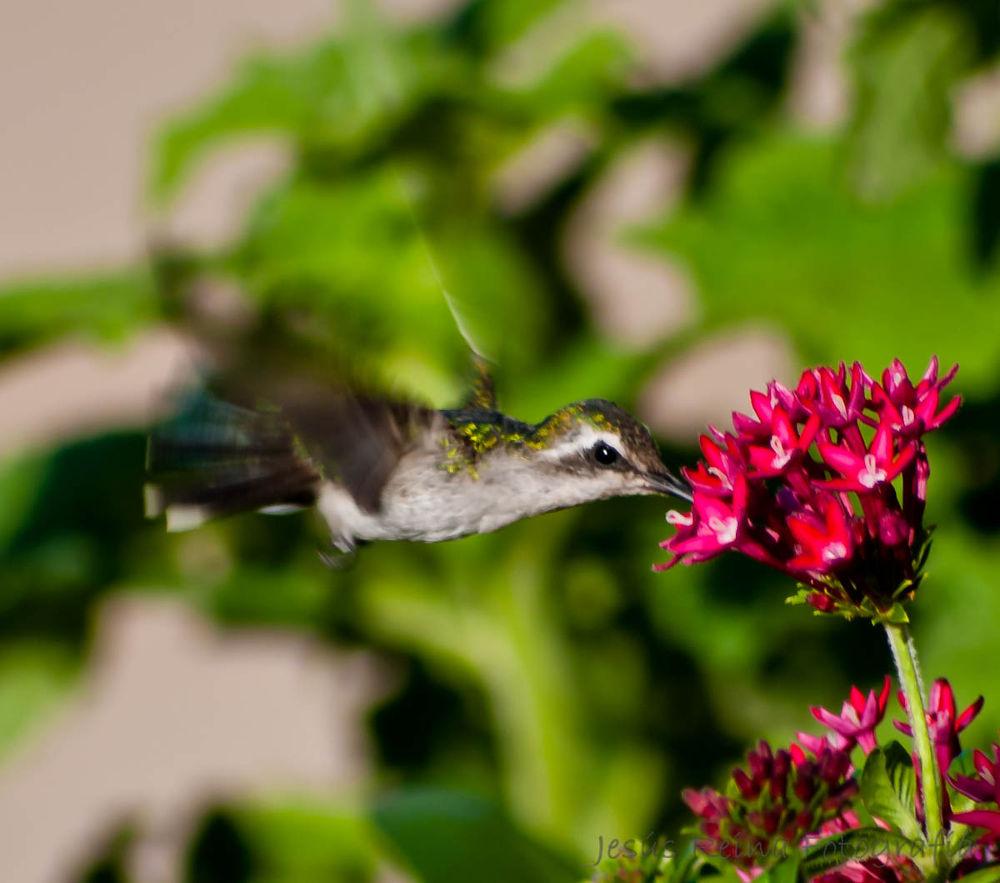Colibri by jesrei