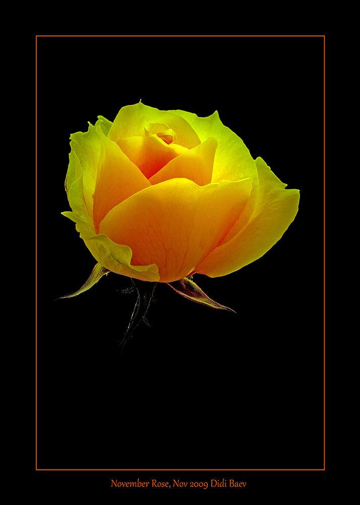 November Rose by didibaev