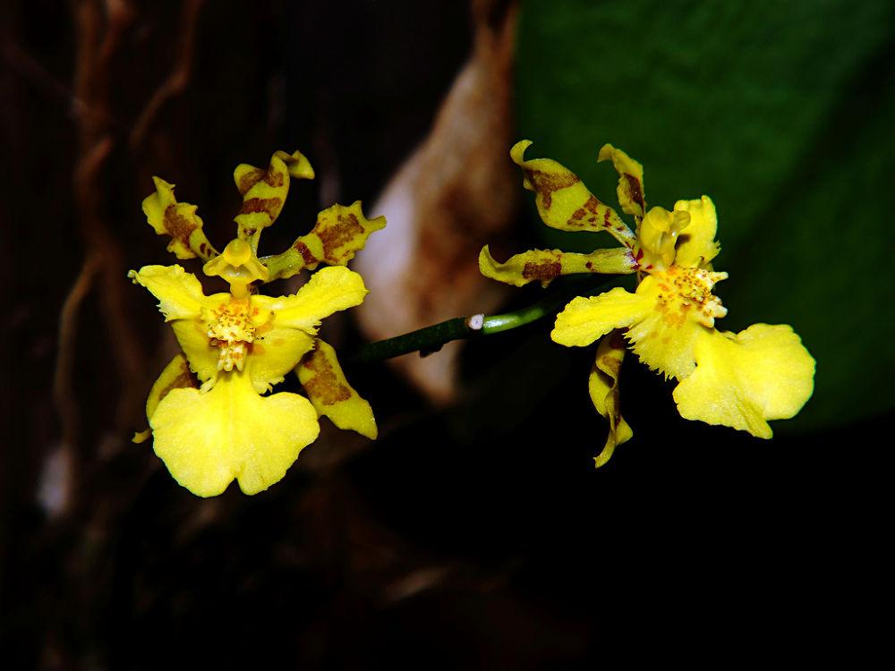 Alatiglossum ciliatum (Oncidium ciliatum), floração dez/2012 by Rui Oliveira Santos
